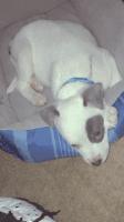 Alaskan Husky Puppies for sale in Kansas City, MO, USA. price: NA