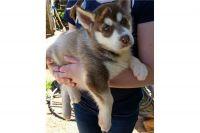 Alaskan Husky Puppies for sale in Alexandria Bay, NY, USA. price: NA