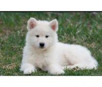 Alaskan Husky Puppies for sale in Dallas, TX, USA. price: NA