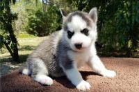Alaskan Husky Puppies for sale in San Jose, CA, USA. price: NA