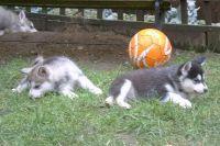 Alaskan Husky Puppies for sale in Montgomery, AL, USA. price: NA