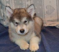 Alaskan Husky Puppies for sale in Carlsbad, CA, USA. price: NA