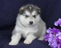 Alaskan Husky Puppies for sale in Long Beach, CA, USA. price: NA