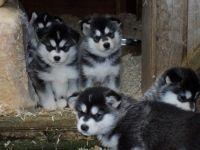 Alaskan Husky Puppies for sale in Austin, TX, USA. price: NA
