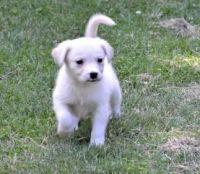 Alaskan Husky Puppies for sale in Detroit, MI, USA. price: NA