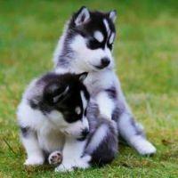 Alaskan Husky Puppies for sale in Birmingham, AL, USA. price: NA