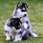 Alaskan Husky Puppies for sale in Bakersfield, CA, USA. price: NA