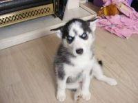 Alaskan Husky Puppies for sale in Aberdeen, ID 83210, USA. price: NA