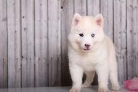 Alaskan Husky Puppies for sale in Anaheim, CA, USA. price: NA