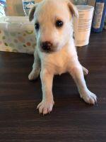 Alaskan Husky Puppies for sale in Burbank, CA, USA. price: NA