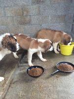 Alaskan Husky Puppies for sale in Spokane, WA, USA. price: NA