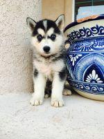 Alaskan Husky Puppies for sale in Denver, CO, USA. price: NA