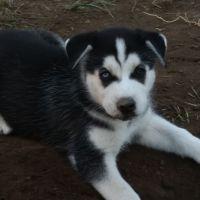 Alaskan Husky Puppies for sale in Hawthorne, CA, USA. price: NA