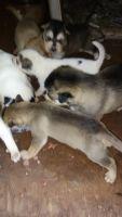 Alaskan Husky Puppies for sale in Makawao, HI 96768, USA. price: NA