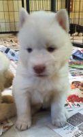 Alaskan Husky Puppies for sale in New York, IA 50238, USA. price: NA