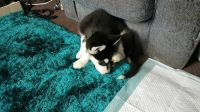 Alaskan Husky Puppies for sale in Los Angeles, CA, USA. price: NA