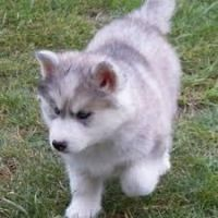 Alaskan Husky Puppies for sale in Houston, TX, USA. price: NA