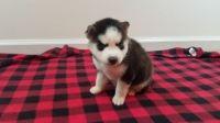 Alaskan Husky Puppies for sale in San Mateo, CA, USA. price: NA