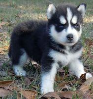 Alaskan Husky Puppies for sale in San Francisco, CA, USA. price: NA