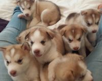 Alaskan Husky Puppies for sale in California St, San Francisco, CA, USA. price: NA