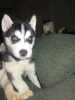 Alaskan Husky Puppies for sale in Phoenix, AZ, USA. price: NA