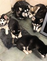 Alaskan Husky Puppies for sale in Indianapolis, IN, USA. price: NA