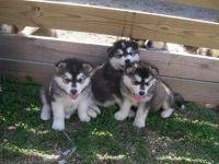 Alaskan Husky Puppies for sale in Pittsburgh, PA, USA. price: NA