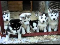 Alaskan Husky Puppies for sale in Albany St, New York, NY, USA. price: NA