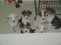 Alaskan Husky Puppies for sale in Clifton, NJ 07014, USA. price: NA