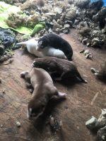 Alaskan Husky Puppies for sale in Oxnard, CA 93036, USA. price: NA