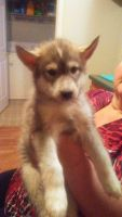Alaskan Husky Puppies for sale in Stanford, KY 40484, USA. price: NA