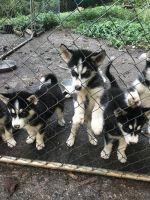 Alaskan Husky Puppies for sale in Madison Heights, VA 24572, USA. price: NA