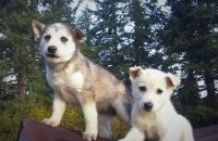 Alaskan Husky Puppies for sale in Molalla, OR 97038, USA. price: NA
