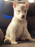 Alaskan Husky Puppies for sale in Karen Ln, Big Lake, MN 55309, USA. price: NA
