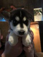 Alaskan Husky Puppies for sale in Comins, MI 48619, USA. price: NA