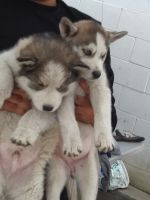 Alaskan Husky Puppies for sale in South Gate, CA 90280, USA. price: NA