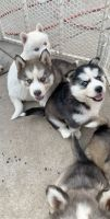 Alaskan Husky Puppies for sale in Pomona, CA 91767, USA. price: NA