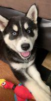 Alaskan Husky Puppies for sale in Chula Vista, CA, USA. price: NA