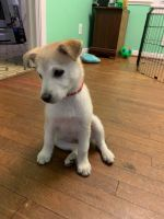 Alaskan Husky Puppies for sale in Richmond, VA, USA. price: NA