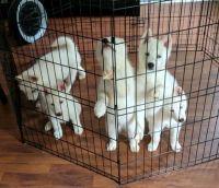 Alaskan Husky Puppies for sale in Austell, GA, USA. price: NA