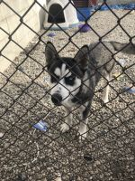 Alaskan Husky Puppies for sale in W 99th St, Inglewood, CA, USA. price: NA