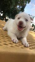 Alaskan Husky Puppies for sale in 868 Fremont St, Las Vegas, NV 89101, USA. price: NA