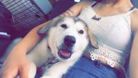 Alaskan Husky Puppies for sale in Whiting, IN, USA. price: NA