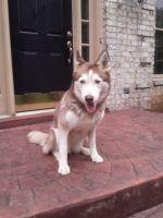 Alaskan Husky Puppies for sale in Woodbridge, VA 22193, USA. price: NA