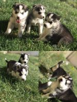 Alaskan Husky Puppies for sale in Ogden, UT, USA. price: NA