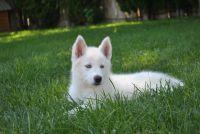 Alaskan Husky Puppies for sale in Benton City, WA 99320, USA. price: NA