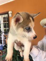 Alaskan Husky Puppies for sale in Miami, FL, USA. price: NA