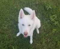 Alaskan Husky Puppies for sale in Fort Worth, TX, USA. price: NA