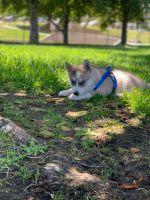 Alaskan Husky Puppies for sale in 10617 Inez St, Whittier, CA 90605, USA. price: NA
