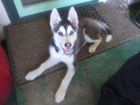 Alaskan Husky Puppies for sale in Kennewick, WA, USA. price: NA